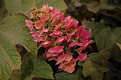 Ruby Slippers Hydrangea (Hydrangea quercifolia 'Ruby Slippers') at Oakland Nurseries Inc