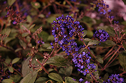 Lo And Behold® Blue Chip Junior Dwarf Butterfly Bush (Buddleia 'Lo And Behold Blue Chip Junior') at Oakland Nurseries Inc