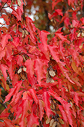 Amur Maple (tree form) (Acer ginnala '(tree form)') at Oakland Nurseries Inc