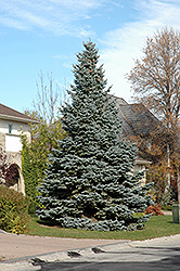 Baby Blue Blue Spruce (Picea pungens 'Baby Blue') at Oakland Nurseries Inc