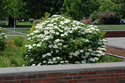 Bailey Compact Highbush Cranberry (Viburnum trilobum 'Bailey Compact') at Oakland Nurseries Inc