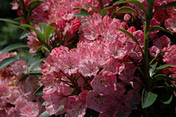 Tiddlywinks Mountain Laurel (Kalmia latifolia 'Tiddlywinks') at Oakland Nurseries Inc