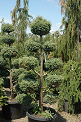 Cyano-Viridis Poodle Form Falsecypress (Chamaecyparis pisifera 'Cyano-Viridis (poodle)') at Oakland Nurseries Inc