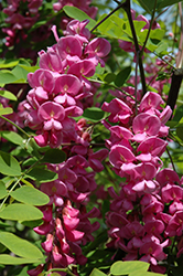 Purple Robe Locust (Robinia pseudoacacia 'Purple Robe') at Oakland Nurseries Inc