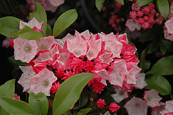 Carol Mountain Laurel (Kalmia latifolia 'Carol') at Oakland Nurseries Inc