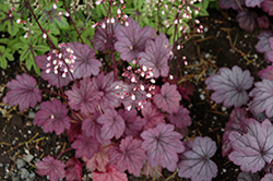 Sugar Plum Coral Bells (Heuchera 'Sugar Plum') at Oakland Nurseries Inc