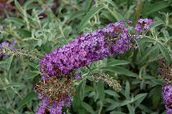 Blue Knight Butterfly Bush (Buddleia 'Blue Knight') at Oakland Nurseries Inc