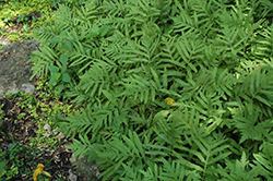 Sensitive Fern (Onoclea sensibilis) at Oakland Nurseries Inc