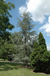 Blue Atlas Cedar (Cedrus atlantica 'Glauca') at Oakland Nurseries Inc