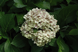 Wedding Ring Hydrangea (Hydrangea macrophylla 'Fanfare') at Oakland Nurseries Inc