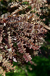 Ruby Lace Honeylocust (Gleditsia triacanthos 'Ruby Lace') at Oakland Nurseries Inc