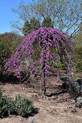 Lavender Twist Redbud (Cercis canadensis 'Covey') at Oakland Nurseries Inc