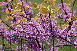The Rising Sun Redbud (Cercis canadensis 'The Rising Sun') at Oakland Nurseries Inc