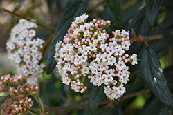 Prague Viburnum (Viburnum x pragense) at Oakland Nurseries Inc