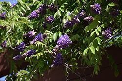 Blue Moon Wisteria (Wisteria macrostachya 'Blue Moon') at Oakland Nurseries Inc