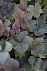 Mocha Coral Bells (Heuchera 'Mocha') at Oakland Nurseries Inc