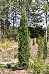 Taylor Redcedar (Juniperus virginiana 'Taylor') at Oakland Nurseries Inc