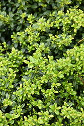 Soft Touch Japanese Holly (Ilex crenata 'Soft Touch') at Oakland Nurseries Inc