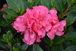 Bloom-A-Thon® Pink Double Azalea (Rhododendron 'RLH1-2P8') at Oakland Nurseries Inc