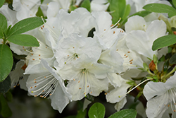 Girard's Pleasant White Azalea (Rhododendron 'Girard's Pleasant White') at Oakland Nurseries Inc