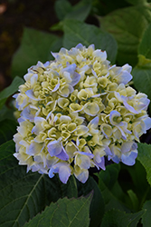 Nantucket Blue Hydrangea (Hydrangea macrophylla 'Grenan') at Oakland Nurseries Inc