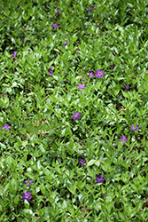 Burgundy Periwinkle (Vinca minor 'Atropurpurea') at Oakland Nurseries Inc