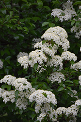 Blackhaw Viburnum (Viburnum prunifolium) at Oakland Nurseries Inc