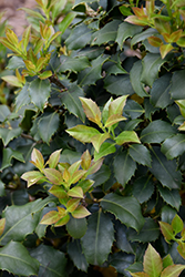 Centennial Girl Holly (Ilex 'Centennial Girl') at Oakland Nurseries Inc