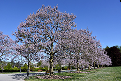 Royal Empress Tree (Paulownia tomentosa) at Oakland Nurseries Inc