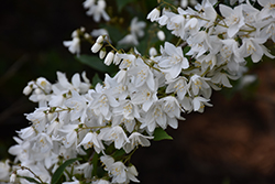 Slender Deutzia (Deutzia gracilis) at Oakland Nurseries Inc