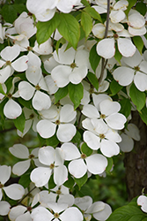Ruth Ellen Flowering Dogwood (Cornus 'Ruth Ellen') at Oakland Nurseries Inc