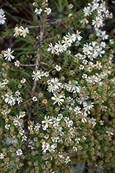 Snow Flurry Aster (Aster ericoides 'Snow Flurry') at Oakland Nurseries Inc