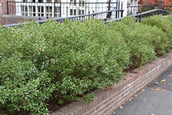 Inkberry Holly (Ilex glabra) at Oakland Nurseries Inc