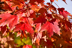 Sun Valley Red Maple (Acer rubrum 'Sun Valley') at Oakland Nurseries Inc