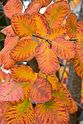 American Smoketree (Cotinus obovatus) at Oakland Nurseries Inc