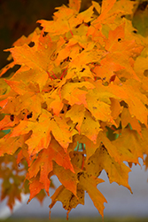 Majesty Sugar Maple (Acer saccharum 'Flax Mill Majesty') at Oakland Nurseries Inc
