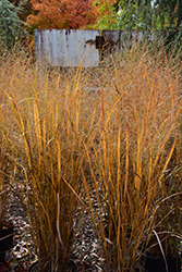 Northwind Switch Grass (Panicum virgatum 'Northwind') at Oakland Nurseries Inc