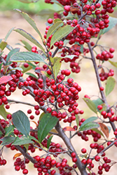 Brilliantissima Red Chokeberry (Aronia arbutifolia 'Brilliantissima') at Oakland Nurseries Inc