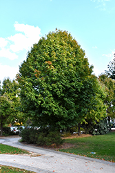 Legacy Sugar Maple (Acer saccharum 'Legacy') at Oakland Nurseries Inc