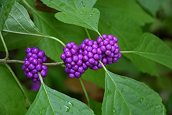 American Beautyberry (Callicarpa americana) at Oakland Nurseries Inc