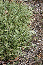 Variegated Grassy-Leaved Sweet Flag (Acorus gramineus 'Variegatus') at Oakland Nurseries Inc