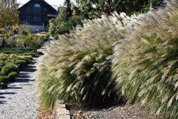 Gracillimus Maiden Grass (Miscanthus sinensis 'Gracillimus') at Oakland Nurseries Inc