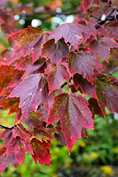Red Sunset Red Maple (Acer rubrum 'Red Sunset') at Oakland Nurseries Inc