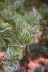 Blue Japanese Pine (Pinus parviflora 'Glauca') at Oakland Nurseries Inc