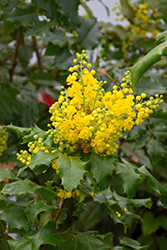 Oregon Grape (Mahonia aquifolium) at Oakland Nurseries Inc