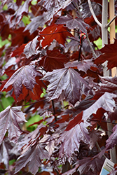 Prairie Splendor Norway Maple (Acer platanoides 'Prairie Splendor') at Oakland Nurseries Inc