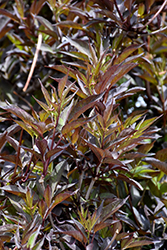 Black Beauty® Elder (Sambucus nigra 'Gerda') at Oakland Nurseries Inc