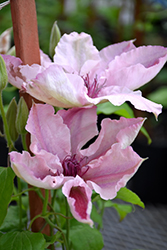 Pink Fantasy Clematis (Clematis 'Pink Fantasy') at Oakland Nurseries Inc
