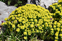 Cushion Spurge (Euphorbia polychroma) at Oakland Nurseries Inc