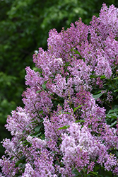 Donald Wyman Lilac (Syringa x prestoniae 'Donald Wyman') at Oakland Nurseries Inc
